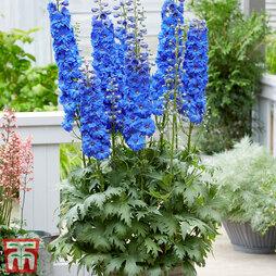 Delphinium elatum 'Paramo Azul'