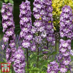 Delphinium 'Magic Fountains Lavender'