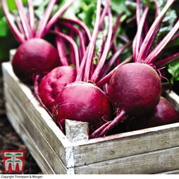 Organic Beetroot 'Detroit'