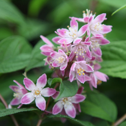 Deutzia 'Tourbillon Rouge'