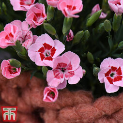 Dianthus 'Peach Party'