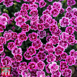 Dianthus 'Pink Kisses' Mix