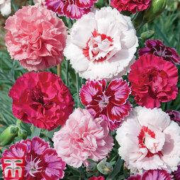 Lucky Dip Dianthus (Pinks)