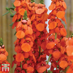 Diascia 'Sundiascia Orange'