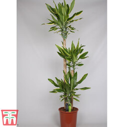 Dracaena fragrans 'Golden Coast' (House Plant)