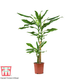 Dracaena fragrans (House Plant)