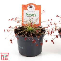Drosera paradoxa (House Plant)