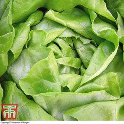 Organic Lettuce 'Sylvesta' (Butterhead)