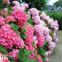 Hydrangea macrophylla 'Early Pink'