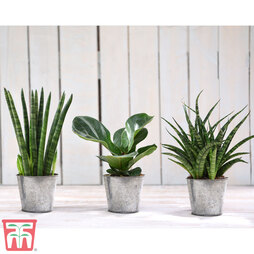 Easy Care Houseplant Collection (House Plant)