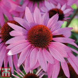Echinacea purpurea 'Pink Parasol'