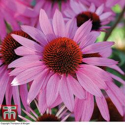 Echinacea 'Nectar Pink'