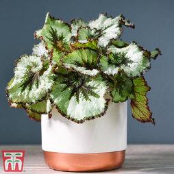 Begonia rex 'Escargot' (House plant)