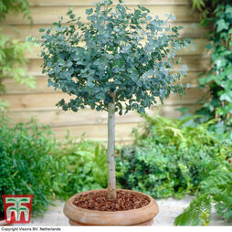 Eucalyptus gunnii (Standard)