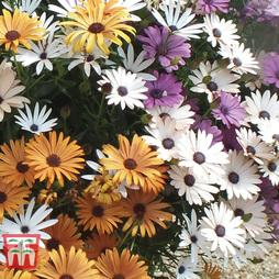 Osteospermum 'Falling Stars™' (Sunbrella)