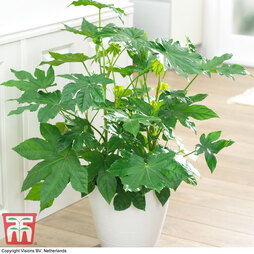 Paperplant (House Plant Seeds)