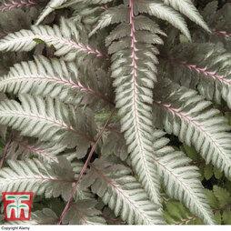 Athyrium niponicum var. pictum 'Pewter Lace'