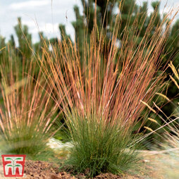 Festuca 'Sunrise'