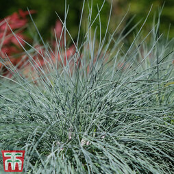 Festuca 'Intense Blue'