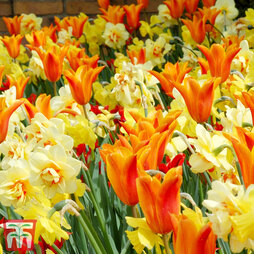 Tulip & Narcissus Fireworks Mix