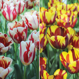 Tulip 'Flaming Duo'