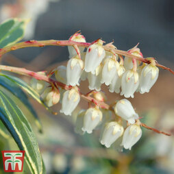 Pieris 'Flaming Silver'