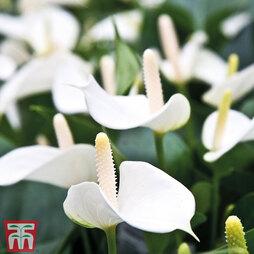 Anthurium Andreaeanum (Pink) (House Plant)