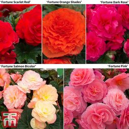 Begonia x tuberhybrida 'Fortune' Collection