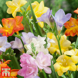 Freesia 'River' Mixed (River Series)