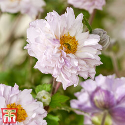 Anemone 'Frilly Knickers'