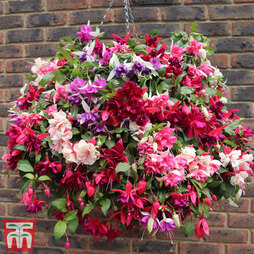 Fuchsia Sparkling Giant Collection