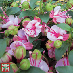 Fuchsia 'Fuchsita Candy'