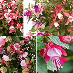 Fuchsia 'Fuchsita' Collection