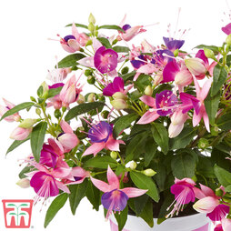 Fuchsia 'Fuchsita Pink-Violet'