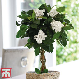 Gardenia Standard with Twisted Stem (House plant)