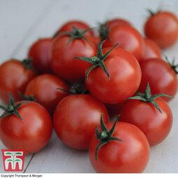 Organic Tomato 'Gardener's Delight'