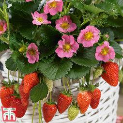 Strawberry 'Gasana'