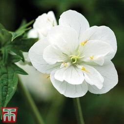 Geranium pratense var. pratense f. albiflorum 'Laura'