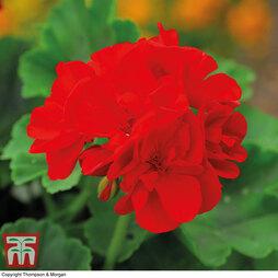 Geranium 'Classic Scarlet Red'