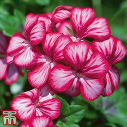 Geranium 'Gerainbow Purple Bicolour'
