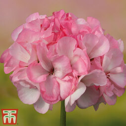 Geranium 'Grandeur® Power Blush'