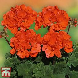 Geranium 'Grandeur® Dark Coral'