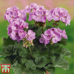 Geranium 'Grandeur® Dark Lavender'