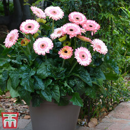 Gerbera jamesonii 'Fundy' (Patio Series)