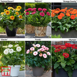 Gerbera Patio Collection (Patio Series)
