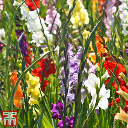 Gladiolus 'Giant Summer Collection'