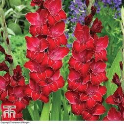 Gladiolus 'Baccarat'