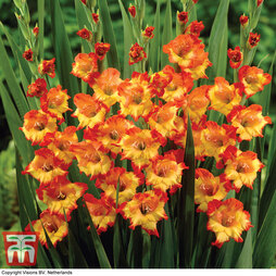 Gladiolus 'Princess Margaret Rose'