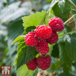 Raspberry 'Glen Ample' (Summer fruiting)