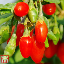 Goji Berry 'Sweet Lifeberry'